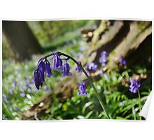 Curled Bluebell Poster