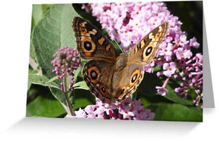 Meadow Argus - Junonina villida by Trish Meyer