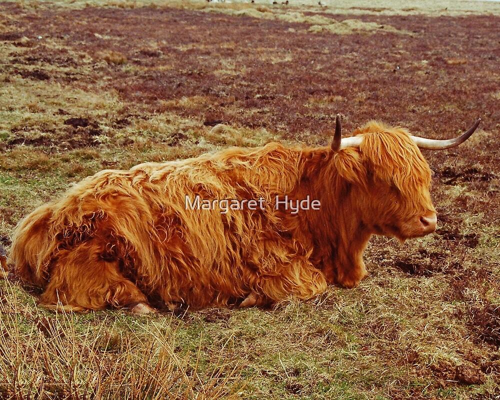 Highland Cow, John O'Groats, U.K. by Margaret  Hyde