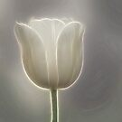 White Tulip by Sandy Keeton