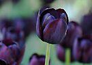 Dark Purple Tulip by Sandy Keeton