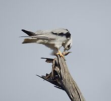 "Black Shouldered Kite - ""A Light Lunch"" by beeday78"