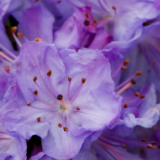 I Shall Wear Purple by TeresaB