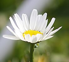 Just A Daisy by rasnidreamer