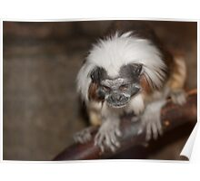 White-Capped Tamarin Poster