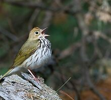 Ovenbird by Wayne Wood