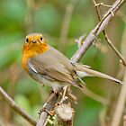Robin by Roger Hall