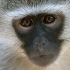 Vervet Monkey by Suzy Harrison