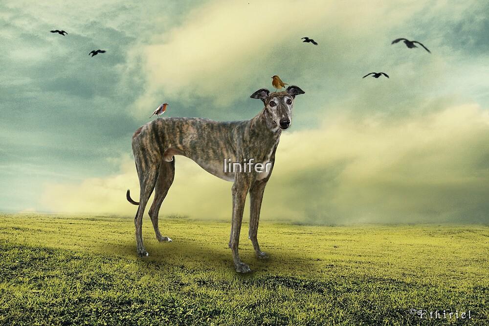 A Greyhound by linifer