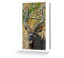 Young male Nyala Greeting Card