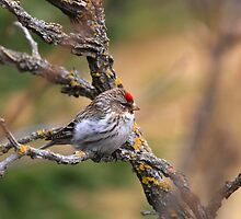 """ Spring Redpoll "" by fortner"