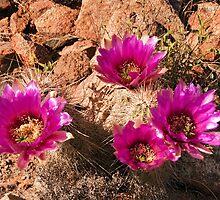 Strawberry Hedgehog Cactus by Kasia-D