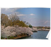 Cherry Blossoms in DC Poster