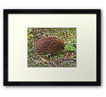 Echidna, Tasmania, Australia Framed Print
