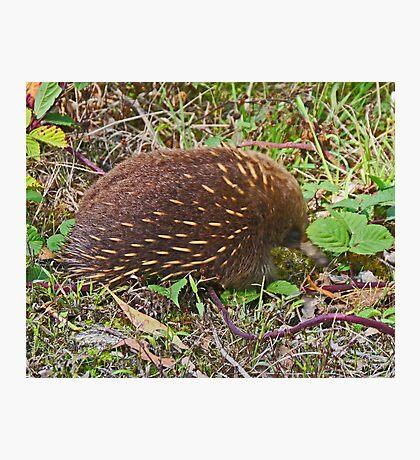 Echidna, Tasmania, Australia Photographic Print
