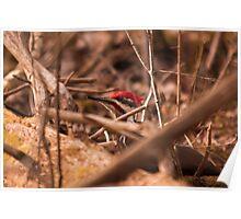 Pileated Woodpecker - Ottawa, Ontario Poster