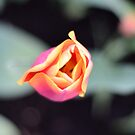 pink tulip from above with diffuse leaf patterns by Stephen Frost
