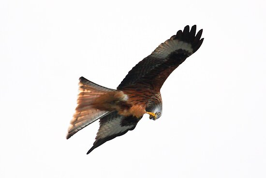 Red Kite on White! by Mark Hughes