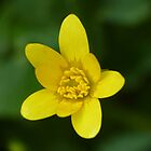 Celandine by Colin Metcalf