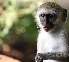 Wild vervet monkey by Virtuosa