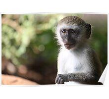 Wild vervet monkey Poster