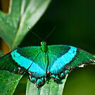 Emerald Swallowtail Butterfly by Sue Ratcliffe