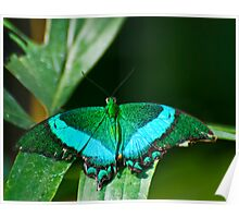 Emerald Swallowtail Butterfly Poster