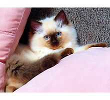 Molly, the ragdoll kitten.  Photographic Print
