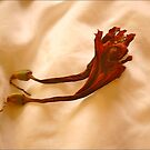 Dead Flowers, Amaryllis by Mike  Waldron