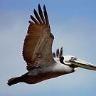 Pelican flying north by loiteke