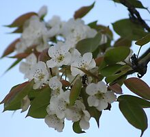 Wild Pear Blossoms by DebbieCHayes