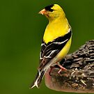 AMERICAN GOLDFINCH by RoseMarie747