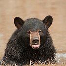 Black Bear Raspberry by Bill Maynard