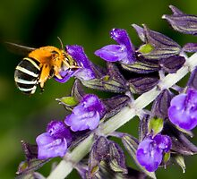 Blue banded bee landing on flower by Richard Majlinder