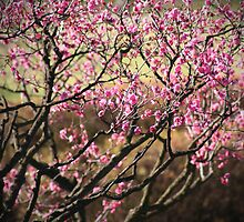 Cherry Blossom Part 2 by emiphotography
