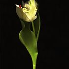 Just One Libretto Tulip by Barbara Wyeth