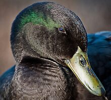 Coquettish Duck by Briar Richard