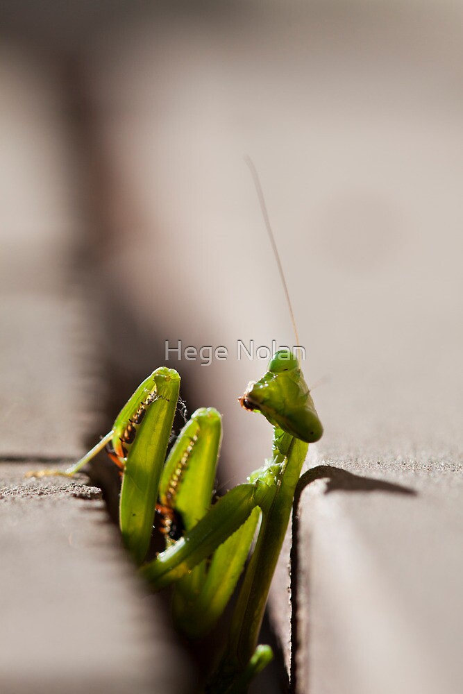 Lurking Praying Mantis by Hege Nolan