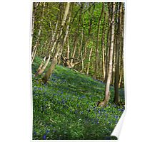 Bluebells in Timbercombe Wood, The Cotswolds, England Poster
