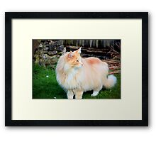 Majestic Maine coon Framed Print