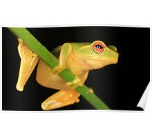 Little Red-Eyed Tree Frog Poster