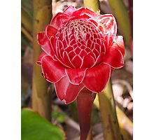 Red Torch Ginger Photographic Print