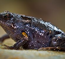 Dusky Toadlet, Uperoleia fusca by Normf