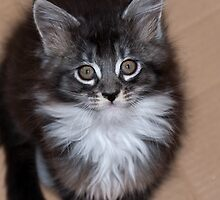 Adoration - Maine Coon kitten by elainejhillson