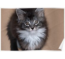 Adoration - Maine Coon kitten Poster