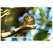 spotted owlet Poster