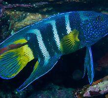 Eastern Blue Devilfish by George Borovskis