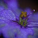 African Violet Bloom by Karen Kaleta