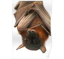 Little Red Flying Fox Poster