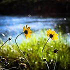Lazy Daisy Sunday by Spitze